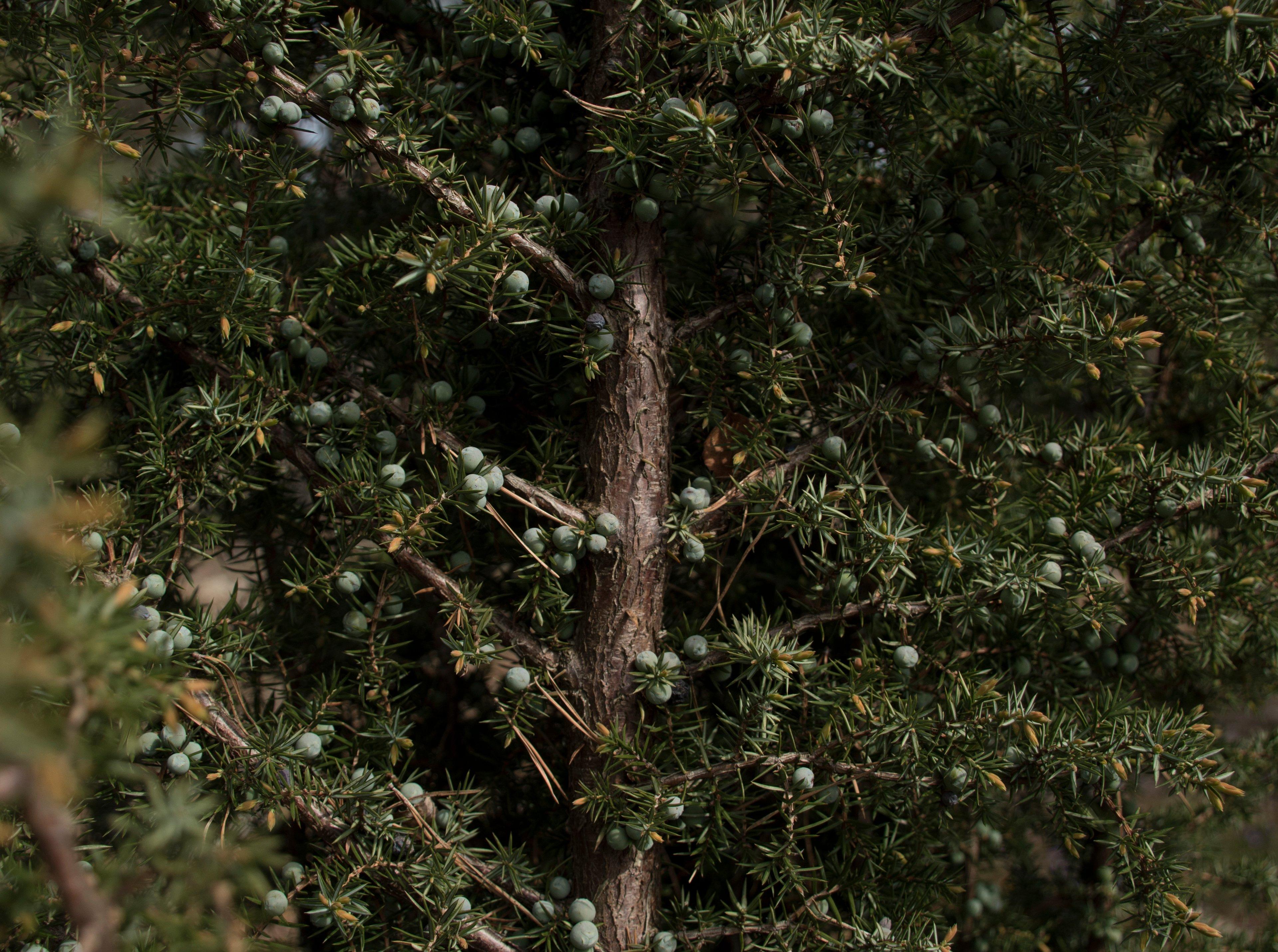 enbär_skog